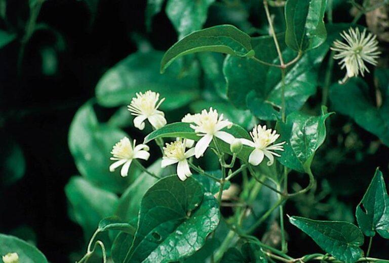 Meditación guiada con Clematis – Flores de Bach