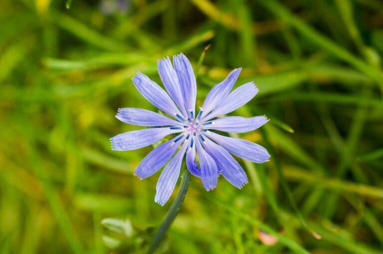 Meditación guiada con Chicory – Flores de Bach