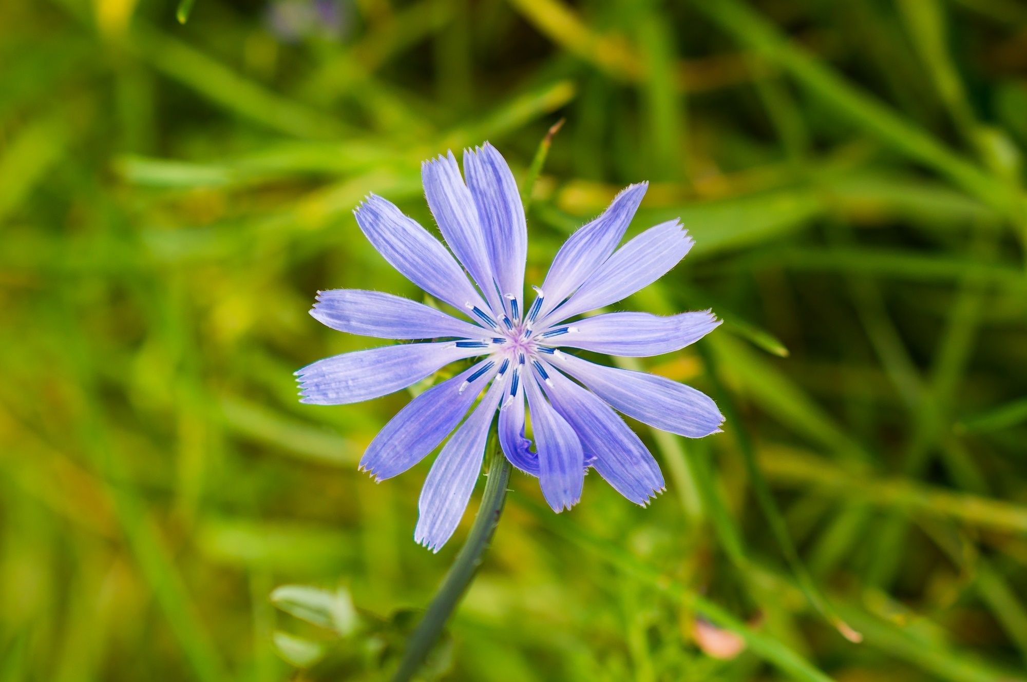 Closeup of common chicory in a garden under the sunlight with a blurry background