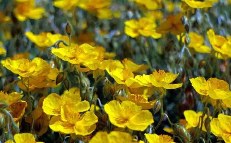 Meditación guiada con Rock Rose – Flores de Bach
